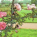 Looking Through The Rose Vine by Stephanie Hollingsworth