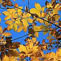 Looking Up To Yellow Leaves by Michael Saunders