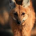 Looks Like A Fox by Karol Livote