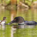 Loon Chick Excited For Breakfast by John Vose