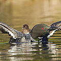 Loon Chick Hold On by John Vose