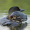 Loon Chick - Peek A Boo by John Vose