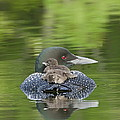 Loon Chicks -  Nap Time by John Vose
