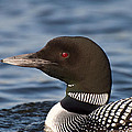 Loon by Donna Doherty