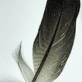 Loon Feather by John Crothers