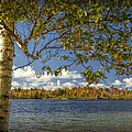 Loon Lake In Autumn With White Birch Tree by Randall Nyhof