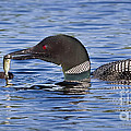 Loon Offers Fish To Chick by Jim Block