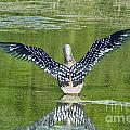 Loon Wings by Susan Herber