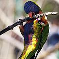 Lorikeet Bird by Marilyn Hunt