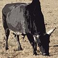 Lotta Bull by Bobbee Rickard