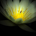 Lotus And Bee by Mike Nellums