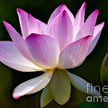 Lotus And Buds by Susan Candelario