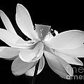 Lotus Ballerina by Sabrina L Ryan