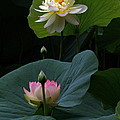 Lotus Beauties In White Pink Gold And Green by Byron Varvarigos