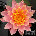 Lotus Bloom by Joshua Bales