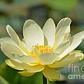 Lotus Blooming  by Ruth  Housley