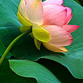 Lotus Blossom And Leaves by Byron Varvarigos