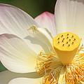 Lotus Blossom by Bob and Jan Shriner