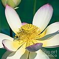 Lotus Blossom by Heiko Koehrer-Wagner