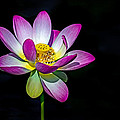 Lotus Blossom by Jerry Gammon