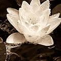 Lotus Blossom by John Pagliuca