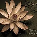 Lotus Blossom by Lovejoy Creations