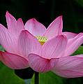 Lotus-center Of Being IIi Dl033 by Gerry Gantt