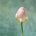 Lotus Flower Bud by Kim Hojnacki