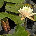 Lotus Flower In White by Jennifer Wheatley Wolf