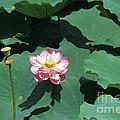 Lotus Flower by James Brunker