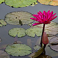 Lotus Flower by Mike Herdering