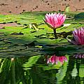 Lotus Flower Reflections by Beth Sargent