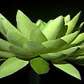 Lotus Flower by Shannon Scott