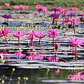 Lotus Flowers by Amanda Mohler