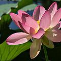 Lotus - Flowers by Daliana Pacuraru