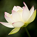 Lotus Glow by Priya Ghose