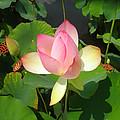 Lotus I by David Klaboe