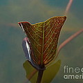 Lotus Leaf by Michelle Meenawong