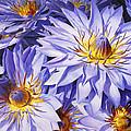Lotus Light - Hawaiian Tropical Floral by Karen Whitworth