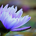 Lotus Love by Suzanne Gaff