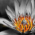 Lotus On Fire by Lyle Barker