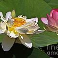 Lotus Pink -- Lotus White And Gold by Byron Varvarigos