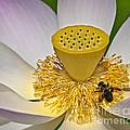 Lotus Pollinator by Susan Candelario