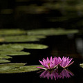 Lotus Reflections by Marilyn Hunt