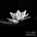 Lotus - Square by Scott Pellegrin