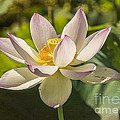 Lotus Shining by Terry Rowe