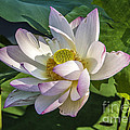 Lotus The Sacred Lily by Terry Rowe