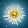 Lotus With Glitter Background  by Km Tan