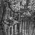 Louisiana Bayou - Bw by Steve Harrington