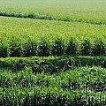 Louisiana Cane Field by Lizi Beard-Ward